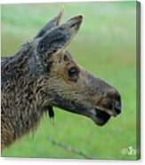 Baby Moose With Dew Canvas Print