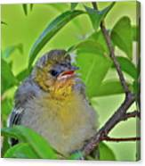 Baby Oriole Canvas Print