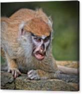 Baby Patas Monkey On Guard  Canvas Print