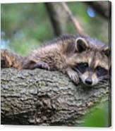 Baby Raccoon Canvas Print