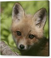 Baby Red Fox Canvas Print