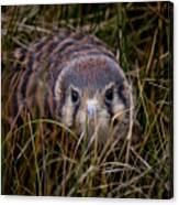 Baby Sage Grouse 2 Canvas Print