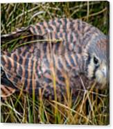 Baby Sage Grouse Canvas Print