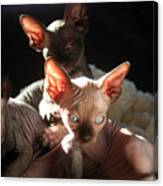Baby Sphynx Cats  Canvas Print