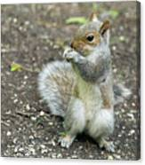 Baby Squirrel Canvas Print