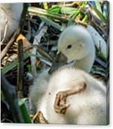 Baby Swan Resting Canvas Print