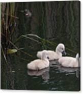 Baby Swans Canvas Print