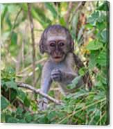 Baby Vervet Monkey Canvas Print