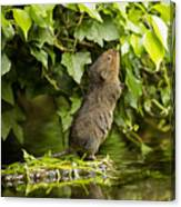 Baby Water Vole Stretching Up Canvas Print