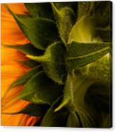 Back Angle Of Sunflower Canvas Print