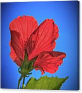Back Lighting The Red Hibiscus  Canvas Print