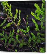 Back-lit Conifer Branches Canvas Print