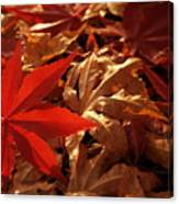 Back-lit Japanese Maple Leaf On Dried Leaves Canvas Print