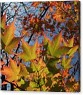 Back-lit Sugar Maple Leaves From Below Canvas Print