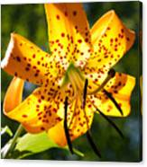 Back-lit Yellow Tiger Lily Canvas Print