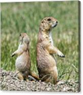 Back To Back Prairie Dogs Canvas Print