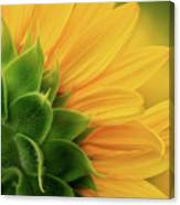 Back View Of Sunflower Canvas Print