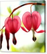 Backlight Bleeding Hearts Canvas Print
