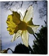 Backlit Daffodil Canvas Print