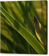 Backlit Iris Bud In Evening Canvas Print