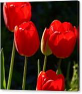 Backlit Red Tulips Canvas Print