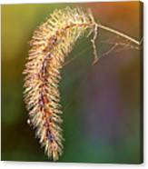 Backlit Seed Head In Fall Canvas Print