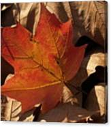 Backlit Sugar Maple Leaf In Dried Leaves Canvas Print