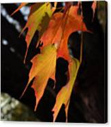 Backlit Sugar Maple Leaves With Trunk Canvas Print