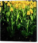 Backlit Tulips Canvas Print