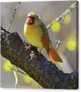 Backyard Bird Female Northern Cardinal Canvas Print