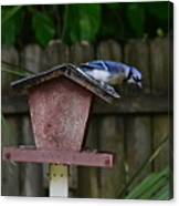 Backyard Blue Jay Canvas Print