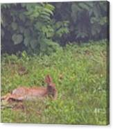 Backyard Bunny Canvas Print