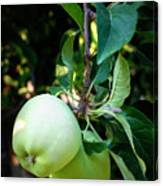 Backyard Garden Series - 2 Apples Canvas Print
