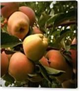 Backyard Garden Series - Apples Cluster Canvas Print