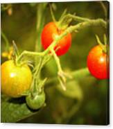 Backyard Garden Series - Cherry Tomatoes Canvas Print