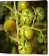 Backyard Garden Series - Green Cherry Tomatoes Canvas Print
