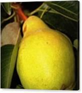 Backyard Garden Series - One Pear Canvas Print