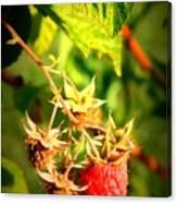 Backyard Garden Series - One Ripe Raspberry Canvas Print