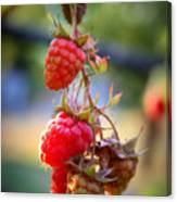 Backyard Garden Series - The Freshest Raspberries Canvas Print