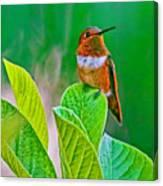Backyard Hummingbird #22 Canvas Print