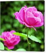Backyard Rose Canvas Print