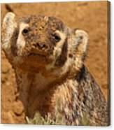 Badger Covered In Dirt From Digging Canvas Print