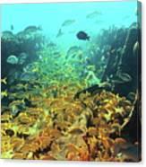 Bahamas Shipwreck Fish Canvas Print