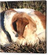 Bailey Resting Canvas Print