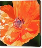 Bailey's Poppy Canvas Print