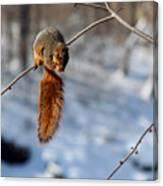 Balancing Squirrel Canvas Print
