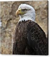 Bald Eagle - Portrait 2 Canvas Print