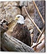 Bald Eagle - Portrait Canvas Print