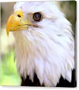 Bald Eagle 1 Canvas Print