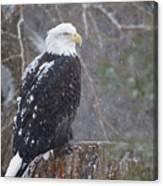 Bald Eagle 1 Canvas Print